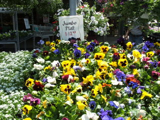 Pansies at Miller's Farm Market