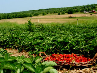 strawberry-picking-095.jpg