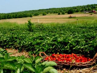 strawberry-picking-095.jpg