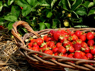 strawberry-picking-099.jpg