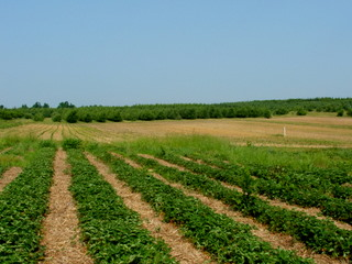 strawberry-picking-100.jpg