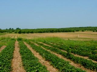 strawberry-picking-100.jpg